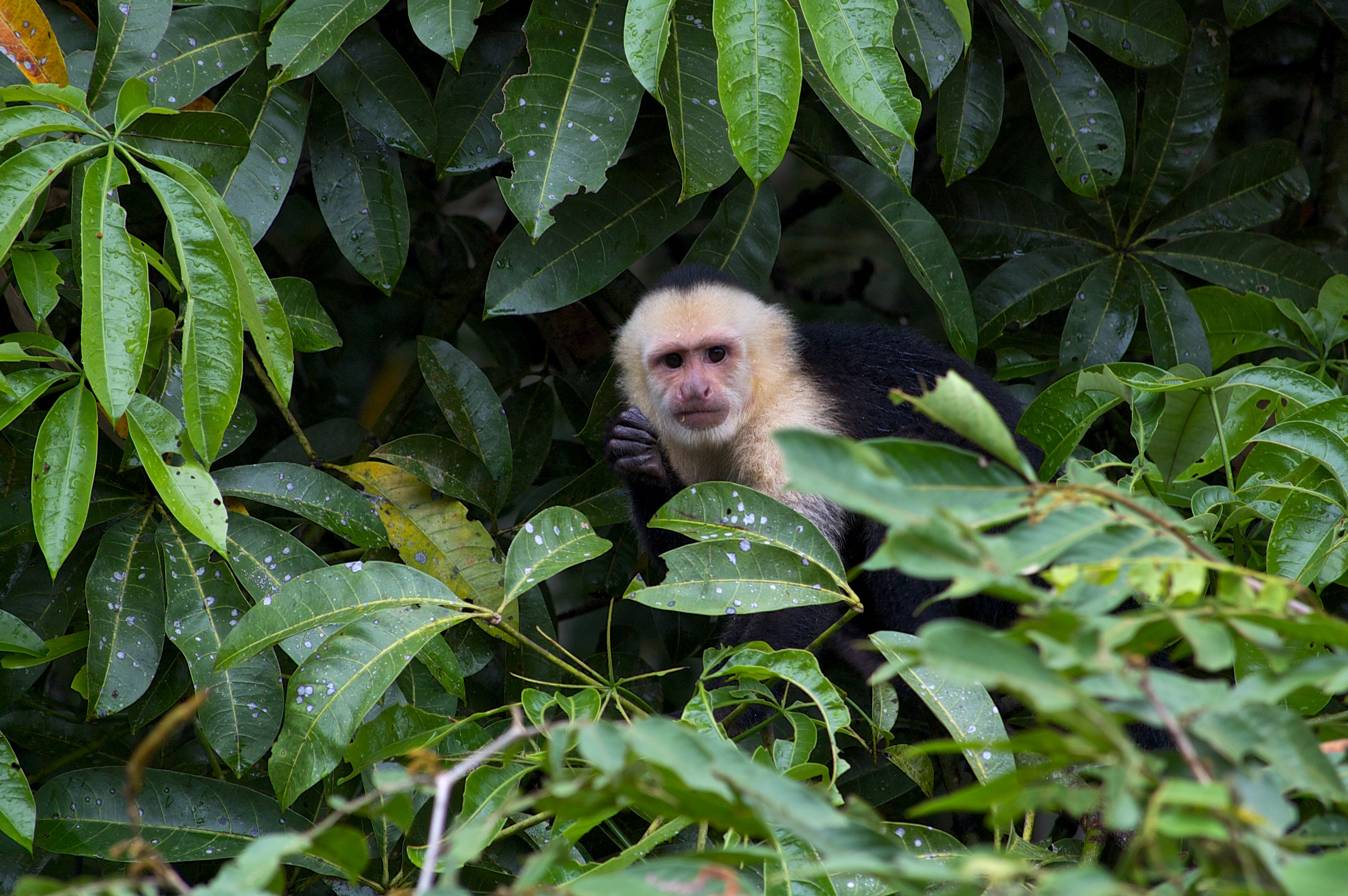 capuchin in the trees