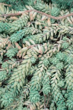 succulent tendrils