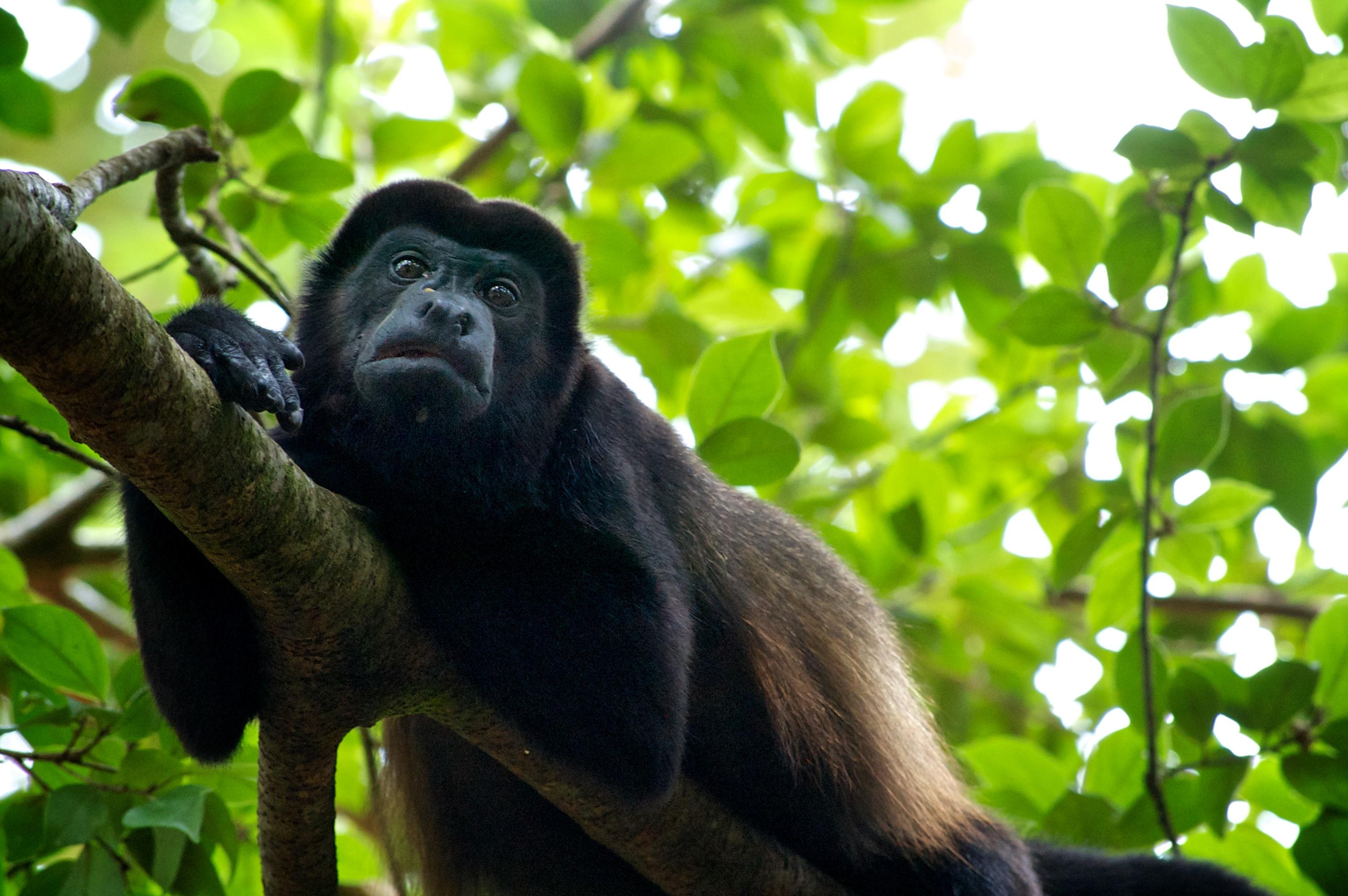 howler monkey hang time no.2