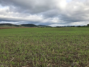Hulless Barley.JPG