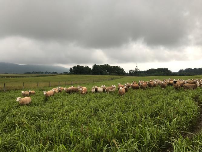 Grazing Sheep.JPG