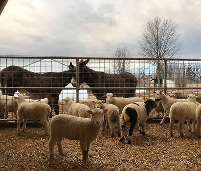 donkeys and lambs.jpeg