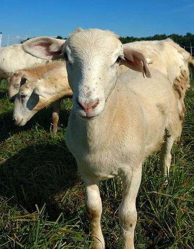 Broadleaf Acres Sheep.JPG