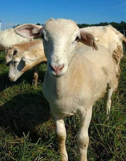 Broadleaf Acres Sheep.JPG