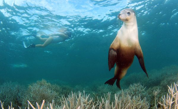 Seal Diving