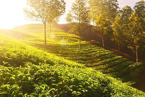 KENYAN TEA FARM WHERE TO BUY KENYAN TEA.jpeg