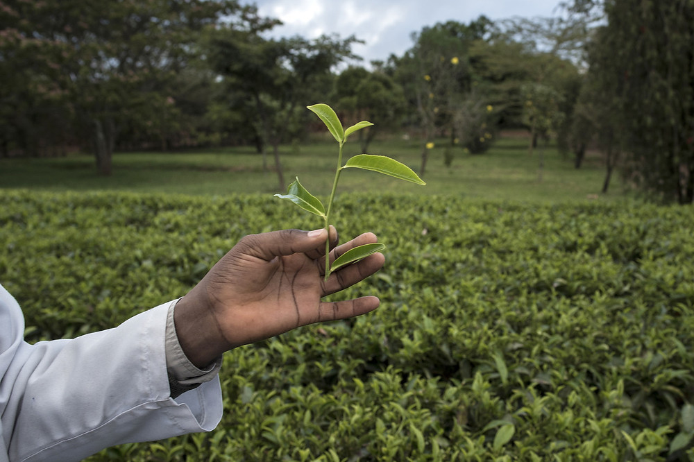 An employee shows off a tea leaf at a KTDTea leaf before processing to be auctioned in Mombasa.