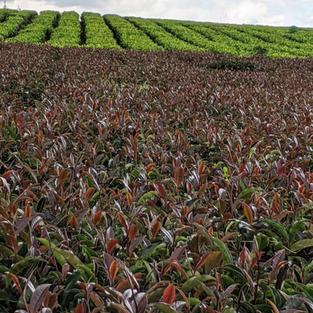 A Purple Tea Farm in Kenya