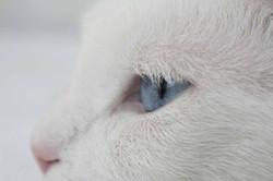 Анкарская кошка