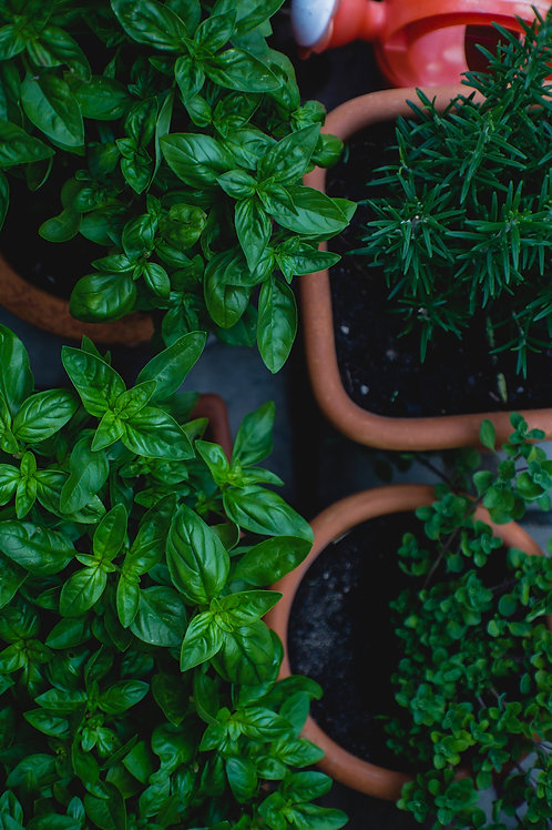 Herbs: Basil, Parsley, Oregano, Fennel, Sage, Rosemary. Lemon Balm