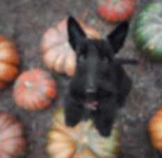 Black scotch terrier dog standing on a p
