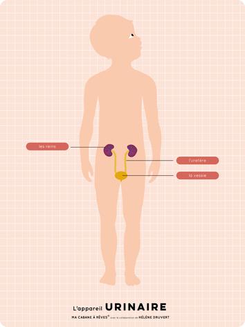 L'appareil Urinaire