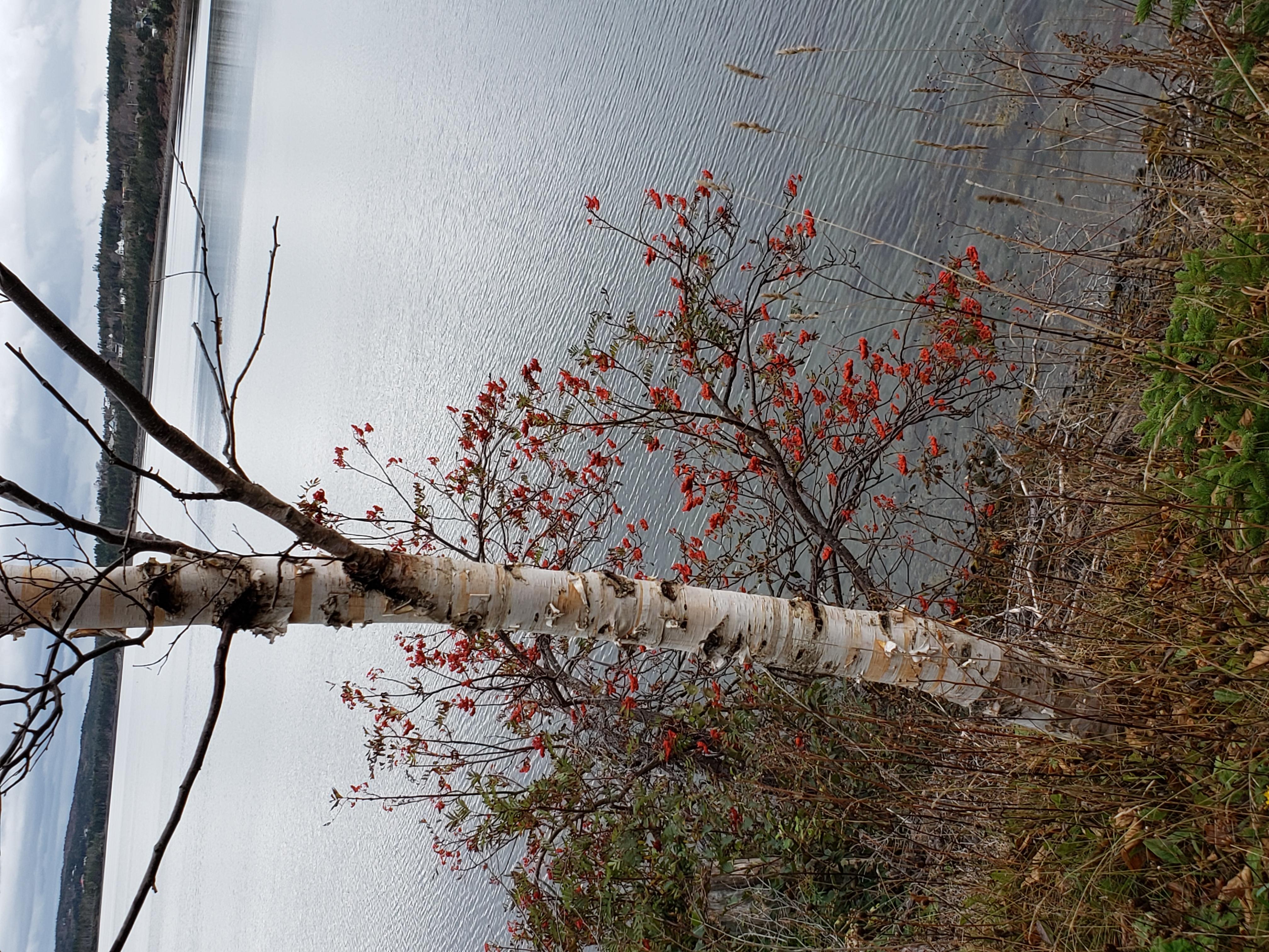 birch and rowan