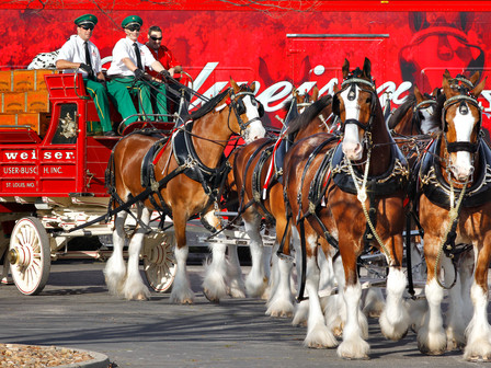 Midtown Park Welcomes Budweiser Clydesdales at Reds, Whites & Brews