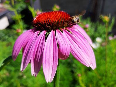 abeille echinacea.jpg