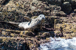 Seal wave