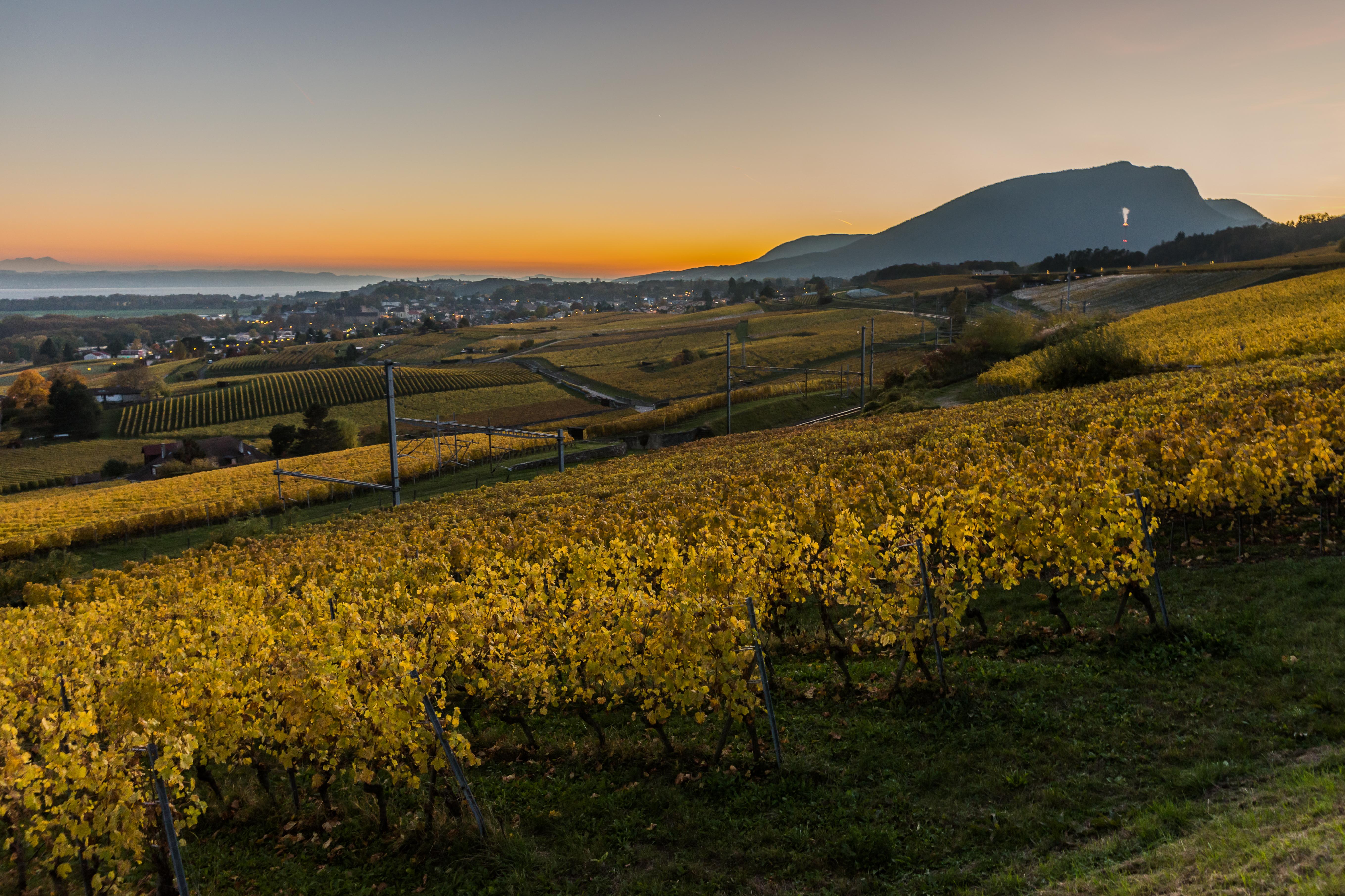 Automne dans les vignes