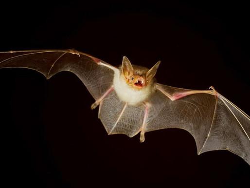 Controle de Morcegos e Pássaros