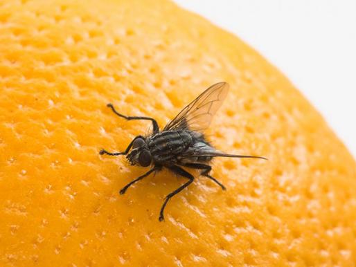 Dicas: como afastar as moscas?