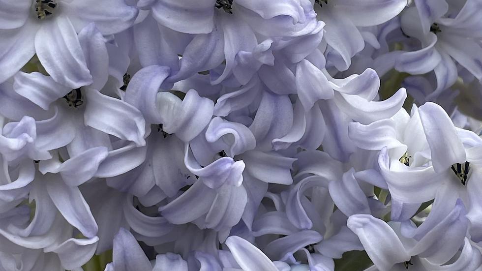 Kanku bloom of the week : Hyacinth