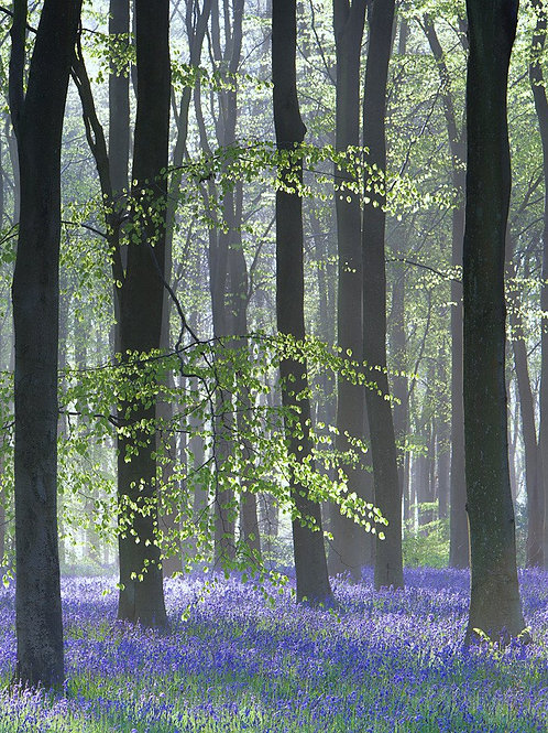 Bluebell Wood II Canvas Print by Doug Chinnery