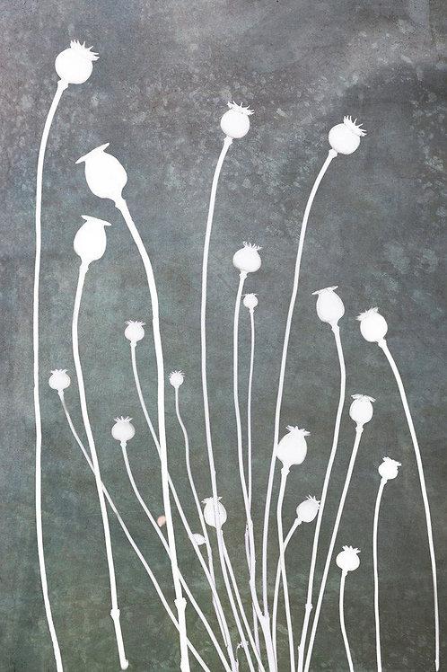 Poppy Study In Slate Canvas Print by Doug Chinnery