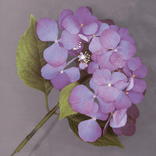Purple Hydrangea Canvas by Erin Clark