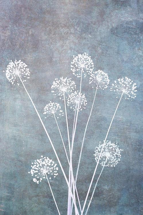 Allium Calm Canvas Print by Doug Chinnery