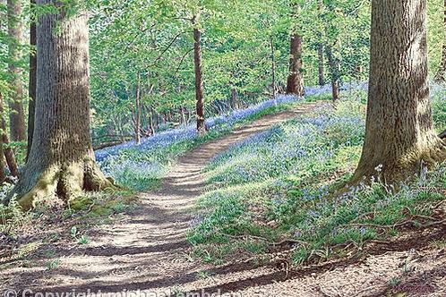 Bluebell Wood Art Print by Michael Embden