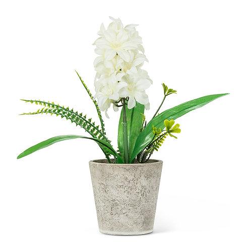 White Hyacinth in Pot