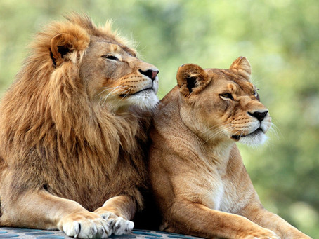 Be as confident as a lion or Lioness