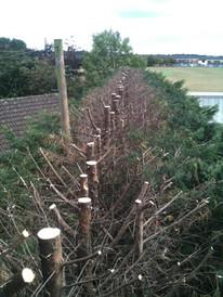 Hedge shrub reduction halesowen