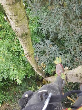 Tree crown lifting halesowen