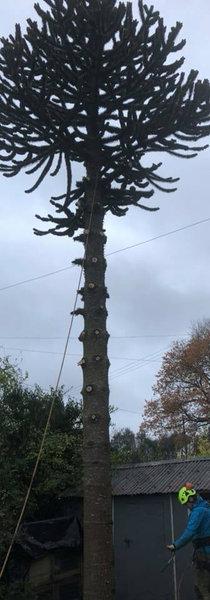 Tree surgery hagley