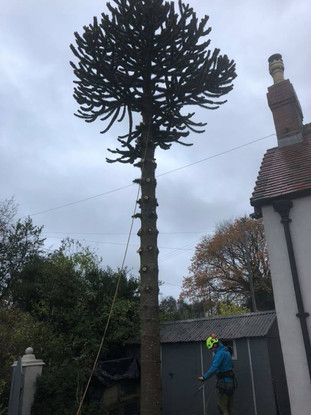 Tree surgery hagley