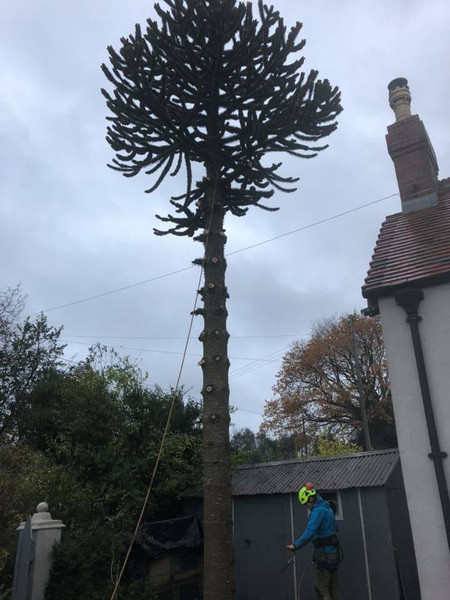 Tree crowning halesowen