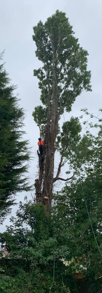 Tree surgery in clent