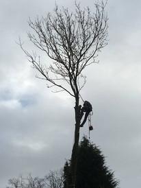 Tree thinning halesowen