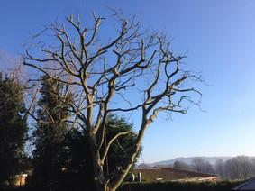 Tree pollarding halesowen