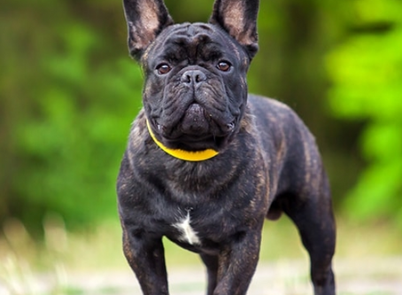 This Weeks Dog Breed Focus 'History Of The French Bulldog'