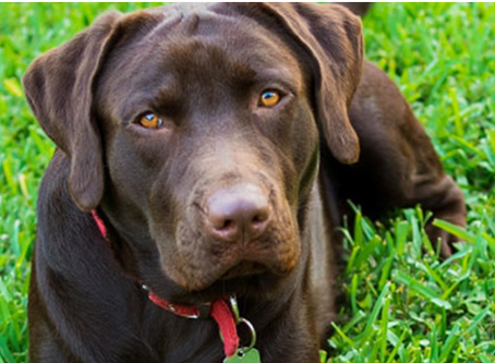 This Weeks Dog Breed Focus 'History Of The Labrador Retriever'