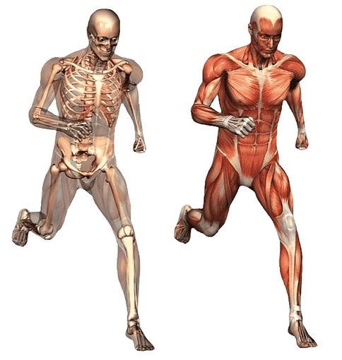 sticker-png-human-body-human-skeleton-an