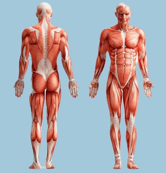 sticker-png-human-body-anatomy-graphics-