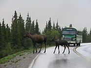 Denali moose bus.jpg
