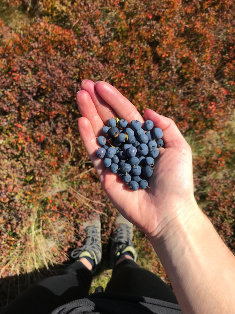 Collecting billberries