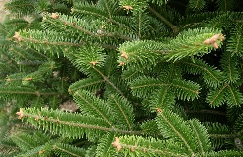 Frasier Fir Christmas Tree Wisconsin