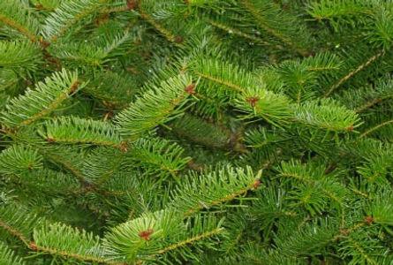 Balsam Fir Christmas Tree Wisconsin