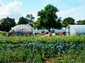 Black Creek Community Farm + Bucatini w/ a Creamy & Dairy-Free Garlic Scape & Cannellini Bean Sauce