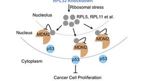 TP53 gene – tumor protein p53