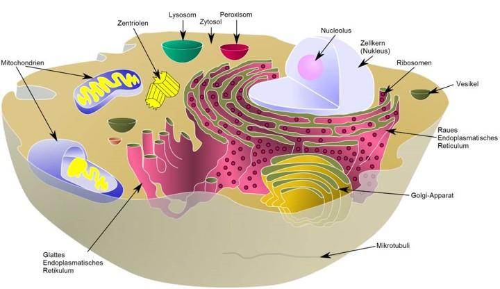 Das Erbgut proper befindet sich im Nucleolus. Allerdings befinden sich Gene in allen Komponenten einer Zelle. Gene befinden sich